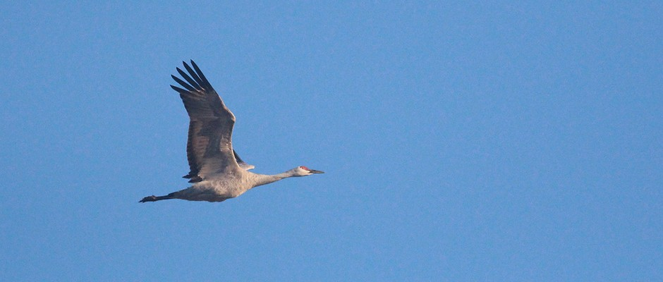 Crane In Flight