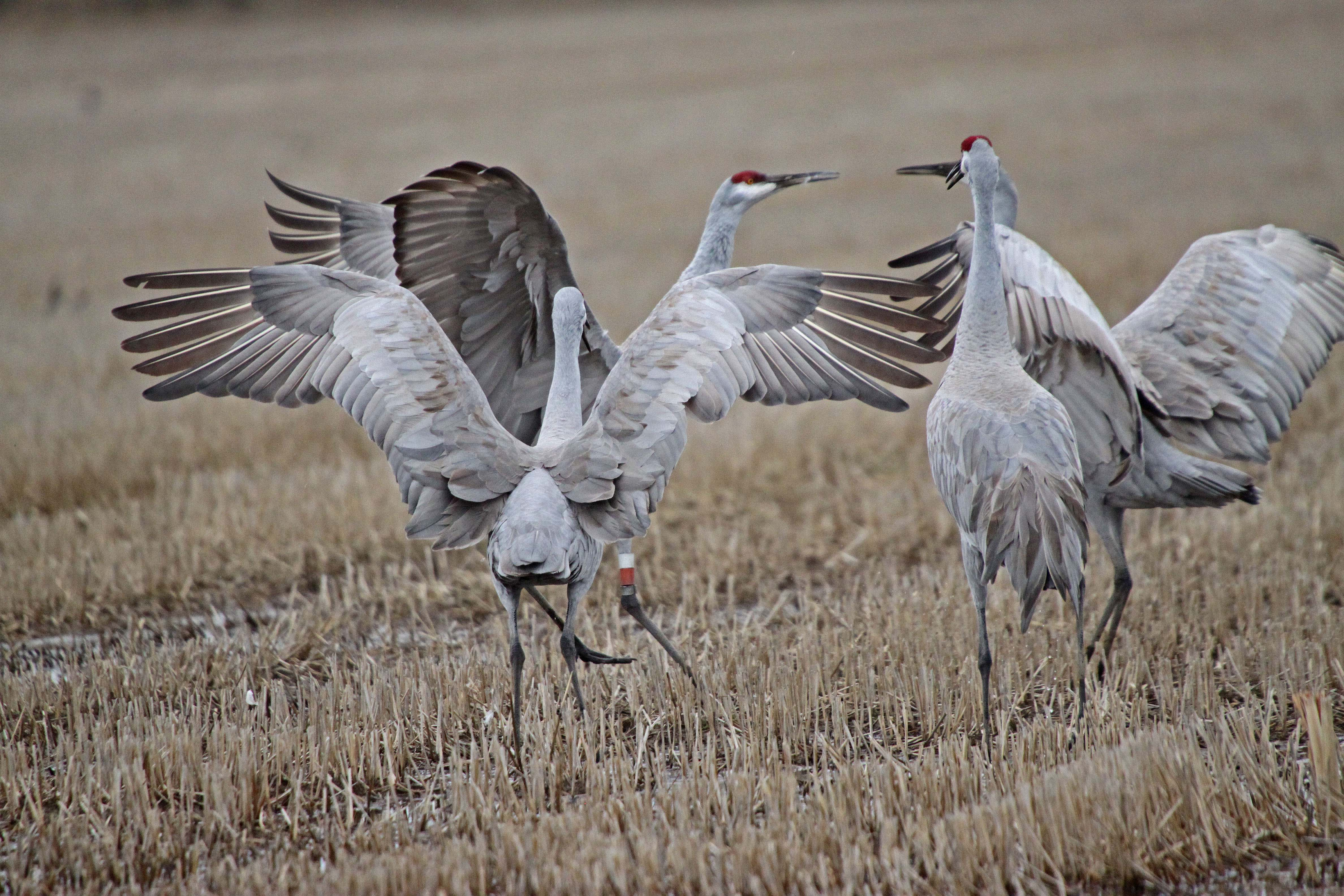 Sandhill cranes bring their trumpet and dance to the Delta each winter