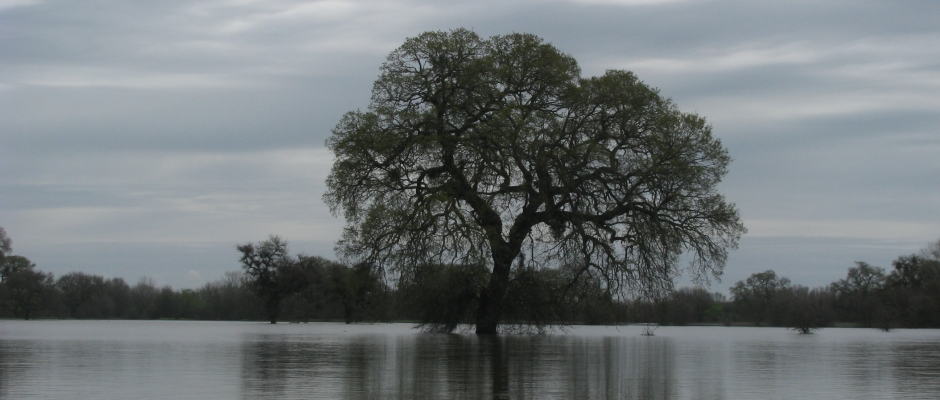 Flooded Oak