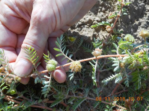 Puncture vines at Oneto/Denier 2018