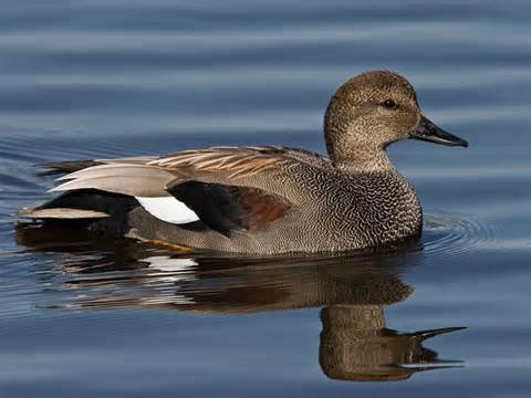 Waterfowl Surveys Need Volunteers