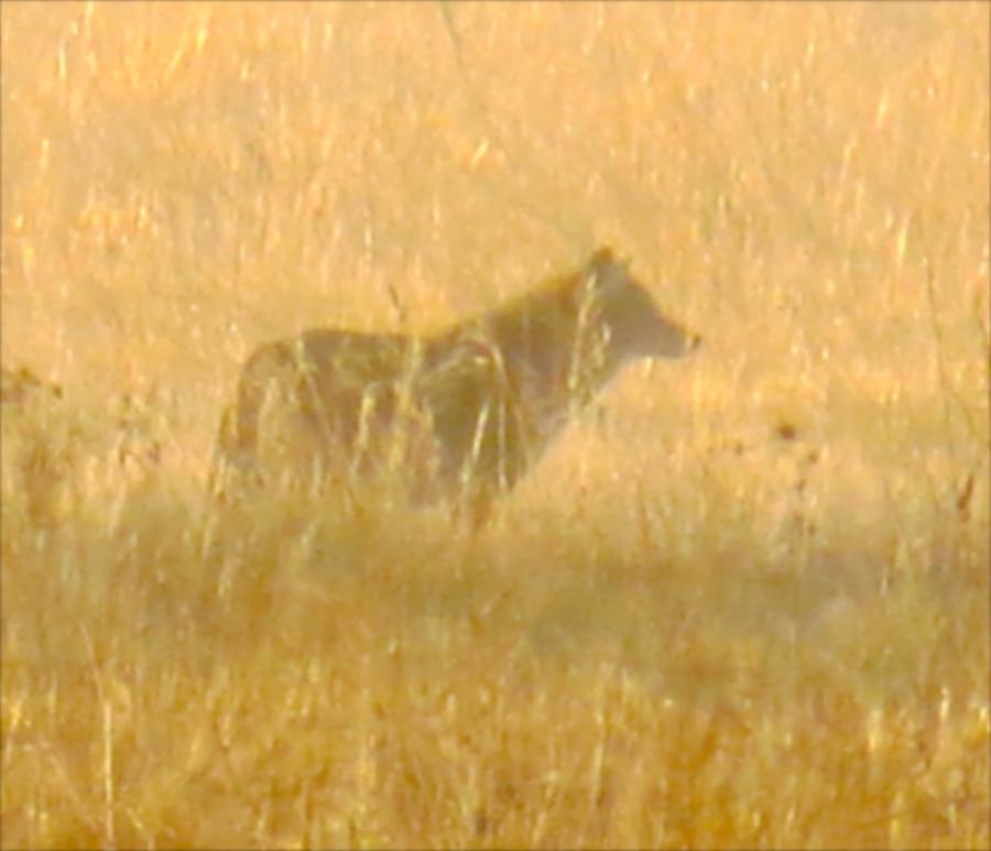 CRP Mountain Lion Study