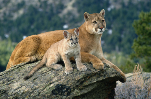 Mountain Lion Information Meeting
