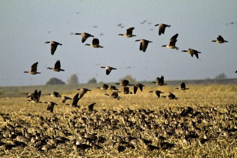 Waterfowl Survey – Volunteers Needed