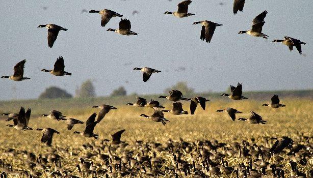 Waterfowl Survey – Volunteers Needed