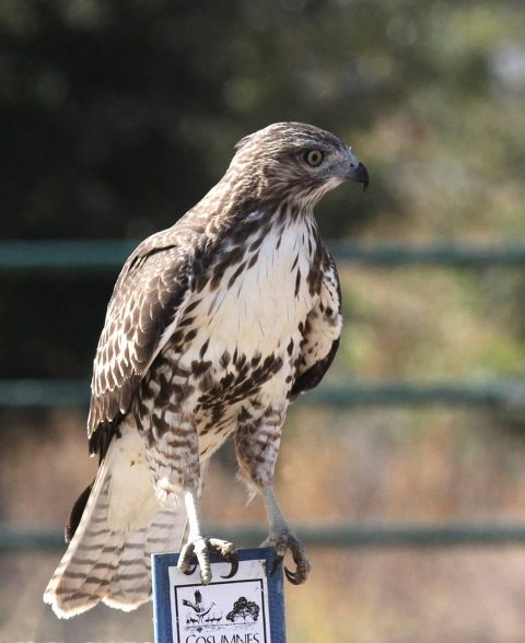 Raptor Survey Needs Volunteers