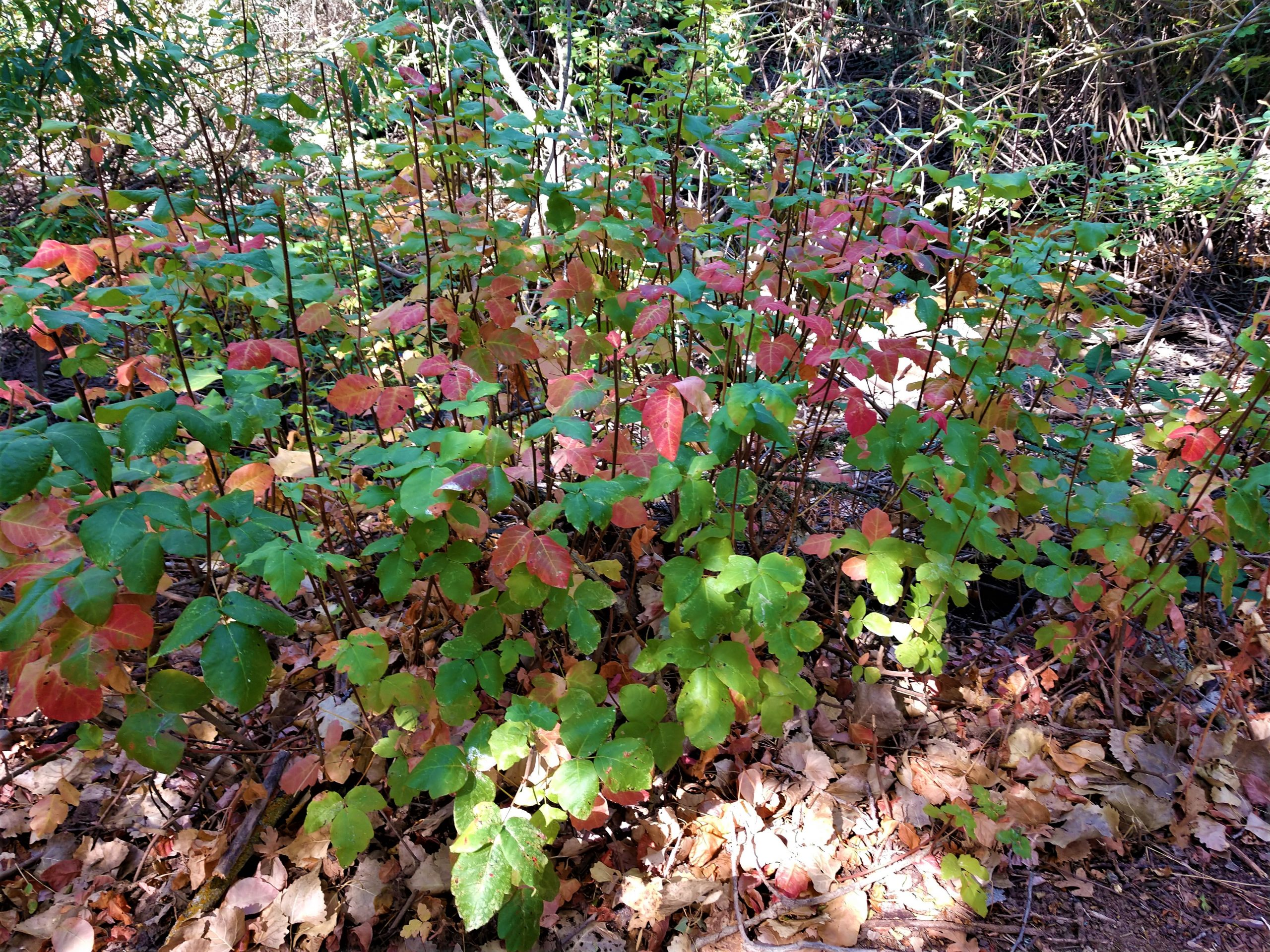 Poison Oak: the good that's hard to see