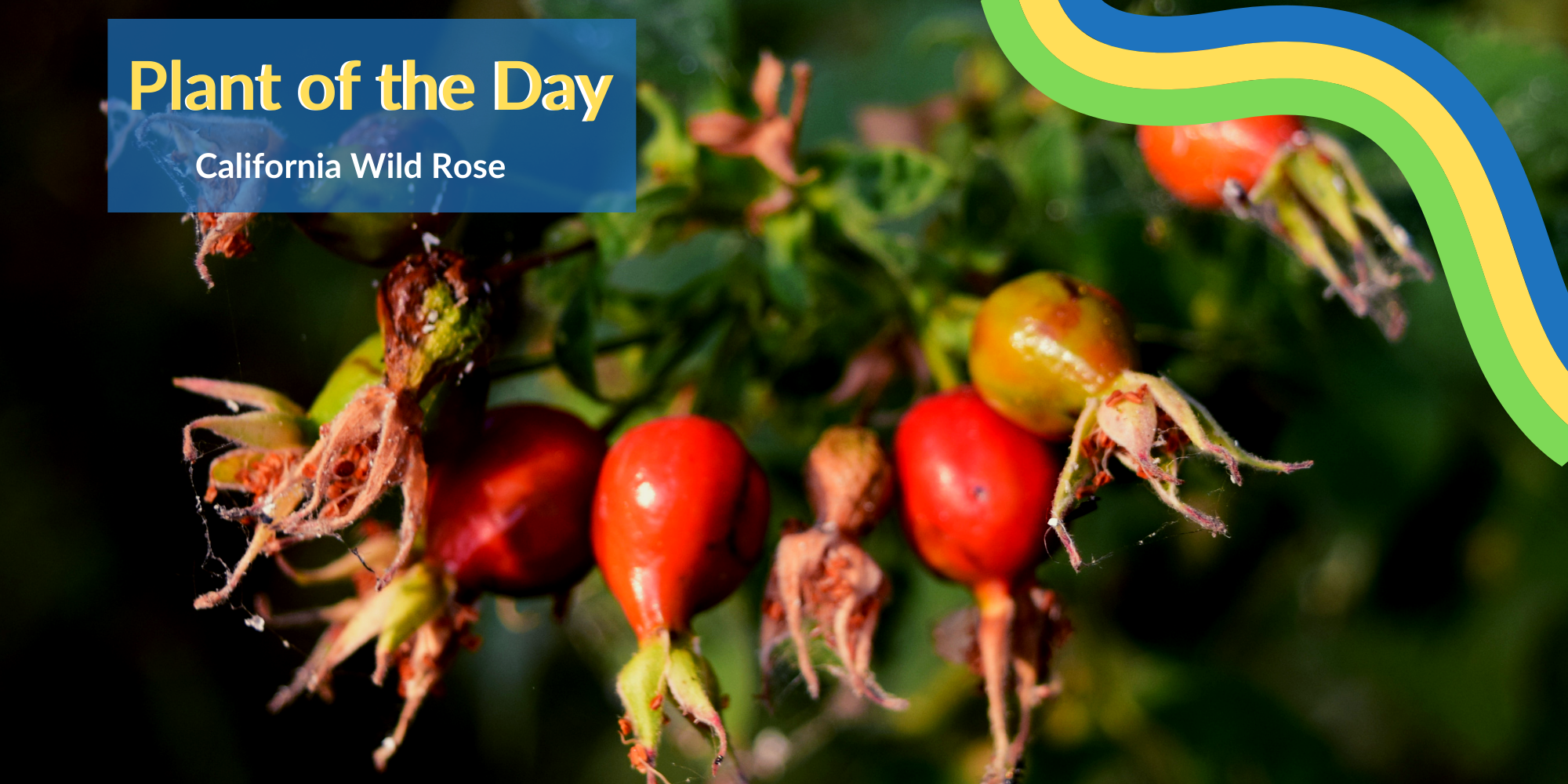 A beautiful, elegant, and deciduous shrub, the California wild rose is commonly found along the sloughs and river at Cosumnes River Preserve. Click to learn more!