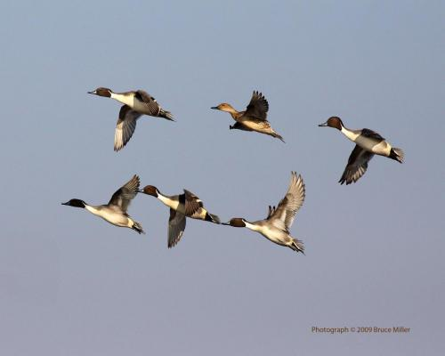 NorthernPintail